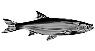 Weißfisch als Aufkleber